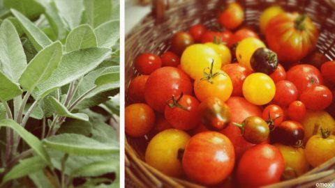 tomate salbei