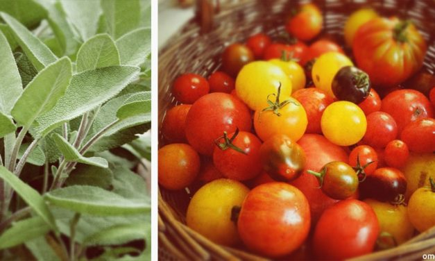 Tomatenragout mit Salbei