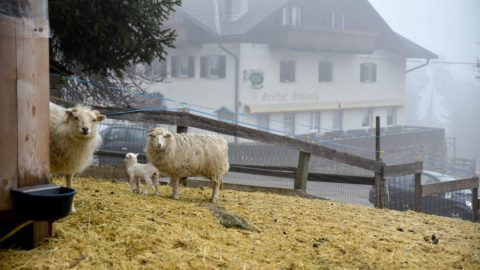 nachwuchs 27 480x270 - Saltner Edelweiss in Jenesien