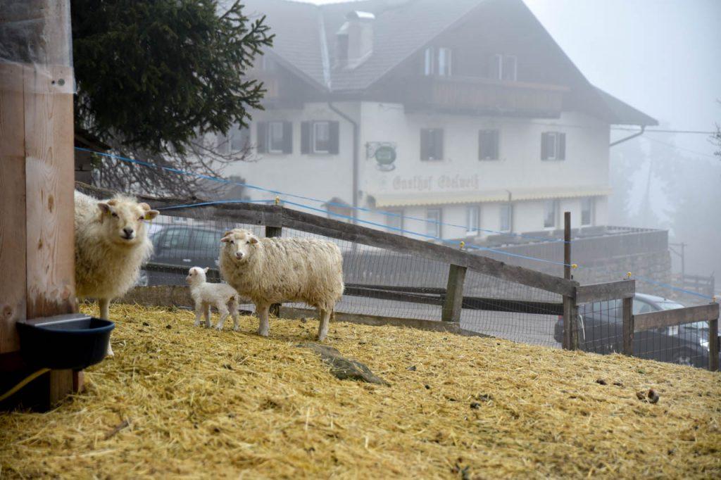 nachwuchs 27 - Saltner Edelweiss in Jenesien