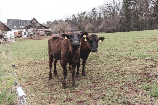 19 04 Wagyu 1800 534x356 - Die Doktorin und das liebe Wagyu-Vieh