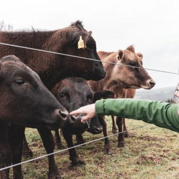 19 04 Wagyu 1885 350x350 - Ein Rind wird geschlachtet