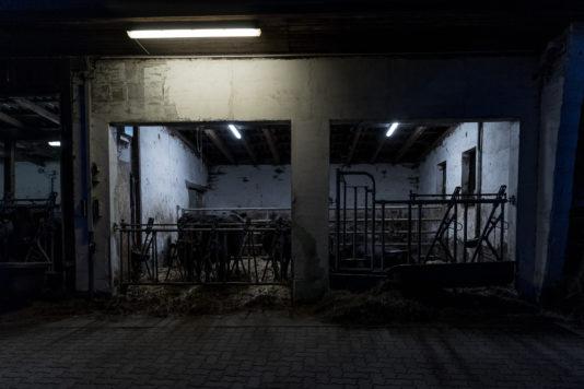 190910 wagyu schlachtung 1714 534x356 - Ein Rind wird geschlachtet