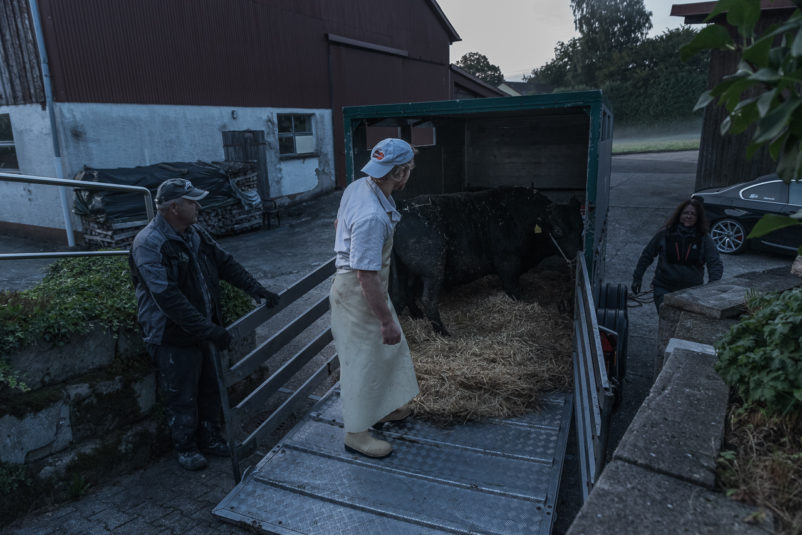 190911 wagyu schlachtung 1909 802x535 - Ein Rind wird geschlachtet