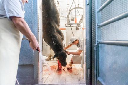 190911 wagyu schlachtung 2016 435x290 - Ein Rind wird geschlachtet