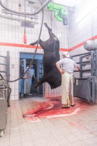 190911 wagyu schlachtung 2114 193x290 - Ein Rind wird geschlachtet