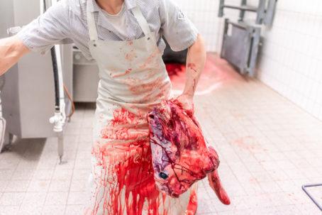 190911 wagyu schlachtung 8798 454x303 - Ein Rind wird geschlachtet