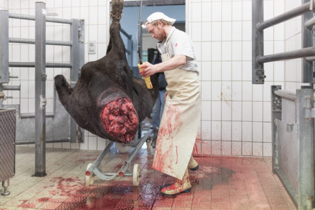 190911 wagyu schlachtung 8828 454x303 - Ein Rind wird geschlachtet