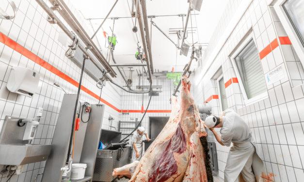 Ein Rind wird geschlachtet