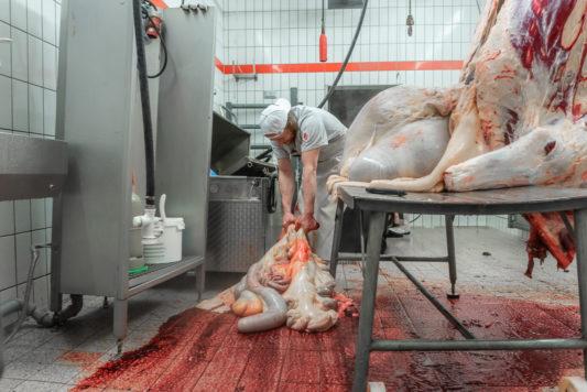 200129 Wagyu Schlachtung 8692 533x356 - Ein Rind wird geschlachtet
