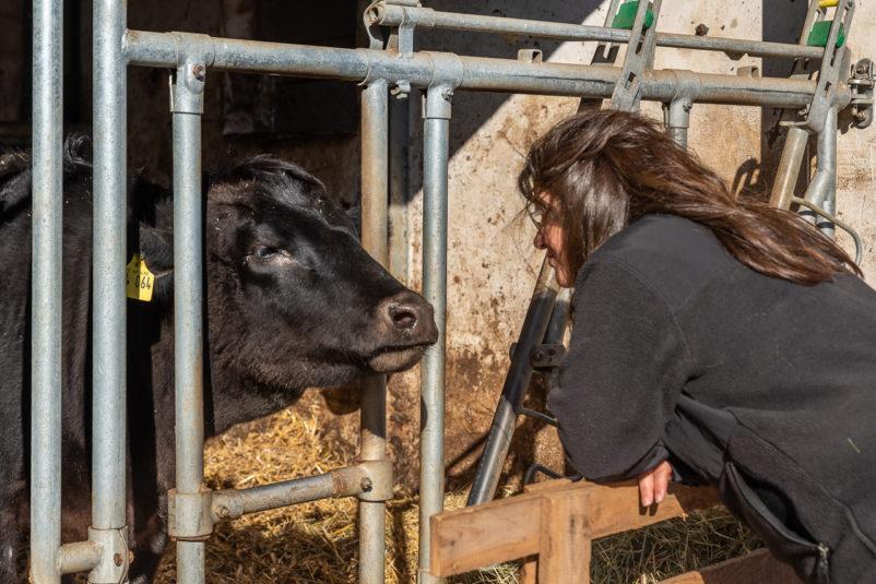 TVONIER Abtsgmuendwagy 0689 802x535 - Ein Rind wird geschlachtet